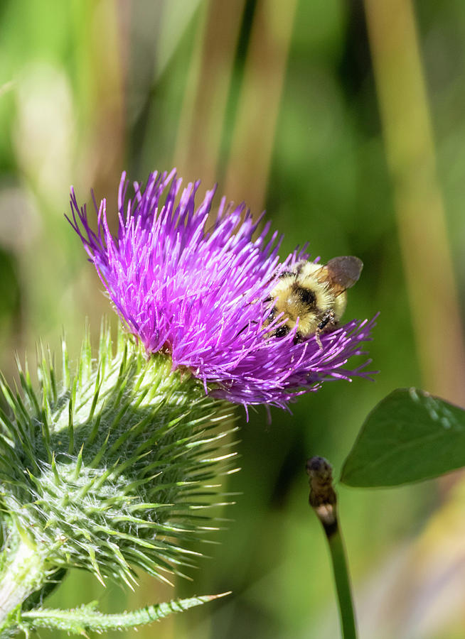 Bumblebee on Thistle 2 by Michael Chatt