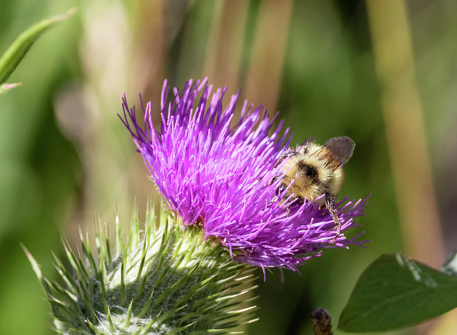 Background Photograph - Bumblebee On Thistle by Michael Chatt