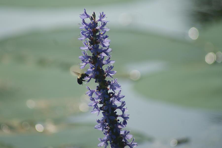 Bumblebee  by Stephanie Pieczynski