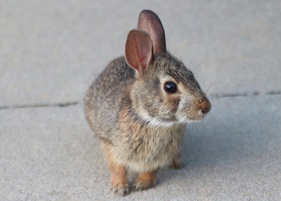 Bunny Rabbit aka Pesky Flower Eater by TJ Fox