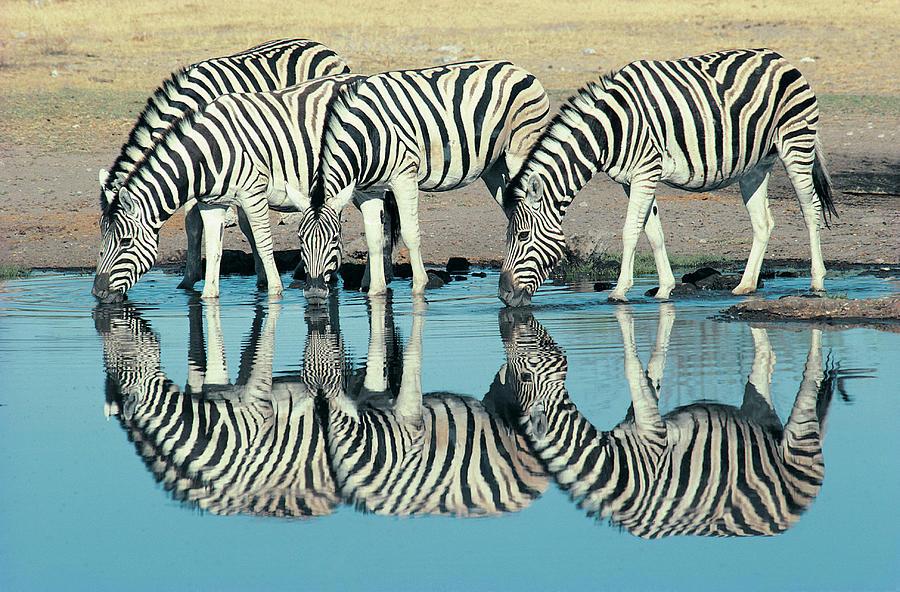 Burchells Zebra Equus Burchelli Photograph by Digital Vision.
