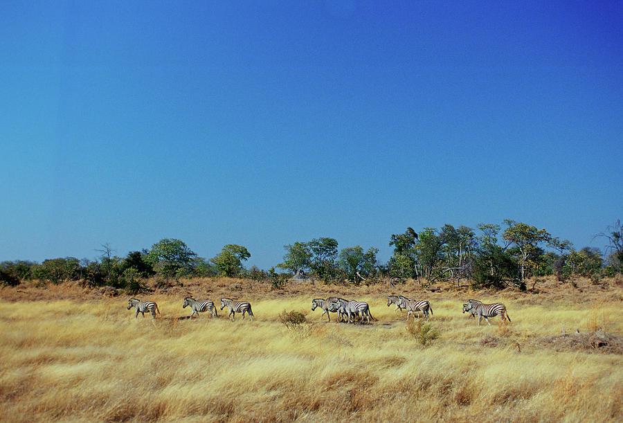 Burchells Zebras, Botswana Photograph by Tim Graham