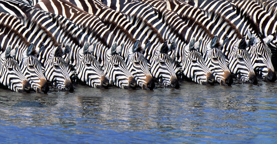 Burchells Zebras Drinking From A River Photograph by Mike Hill
