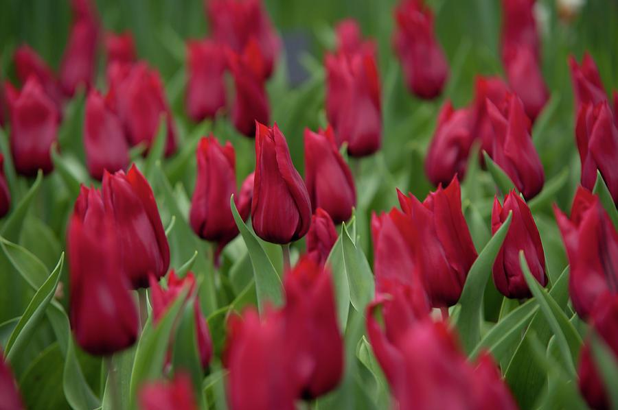 Burgundy Colored Tulipa Hong Kong by Jenny Rainbow
