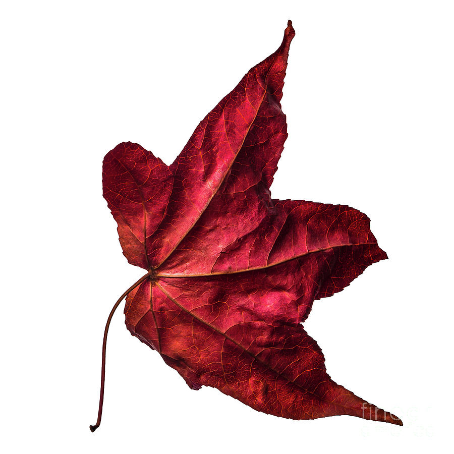 Burgundy red wilted maple leaf dances in autumn winds. Number 2. by Ulrich Wende