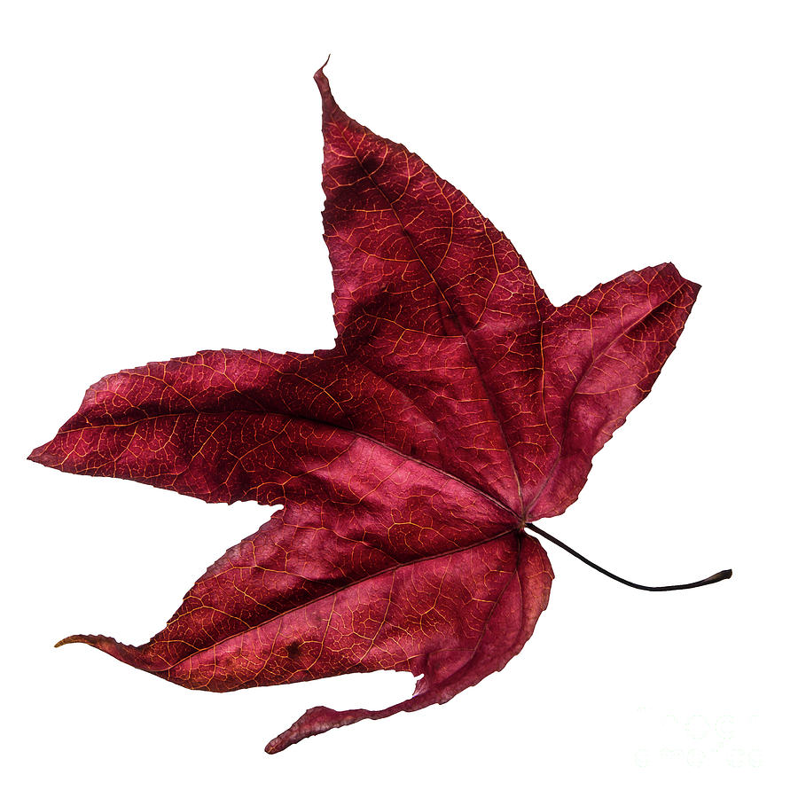 Burgundy red wilted maple leaf dances in autumn winds. Number 3. by Ulrich Wende