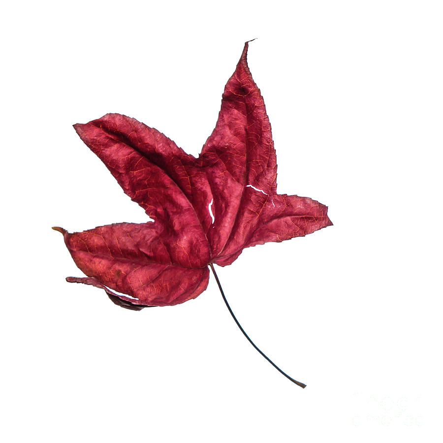 Burgundy red wilted maple leaf dances in autumn winds. Number 4 by Ulrich Wende