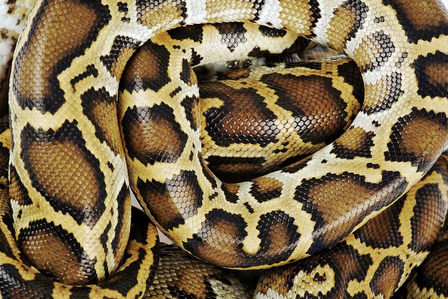 Burmese Python, Close Up, Overhead Photograph by Martin Harvey