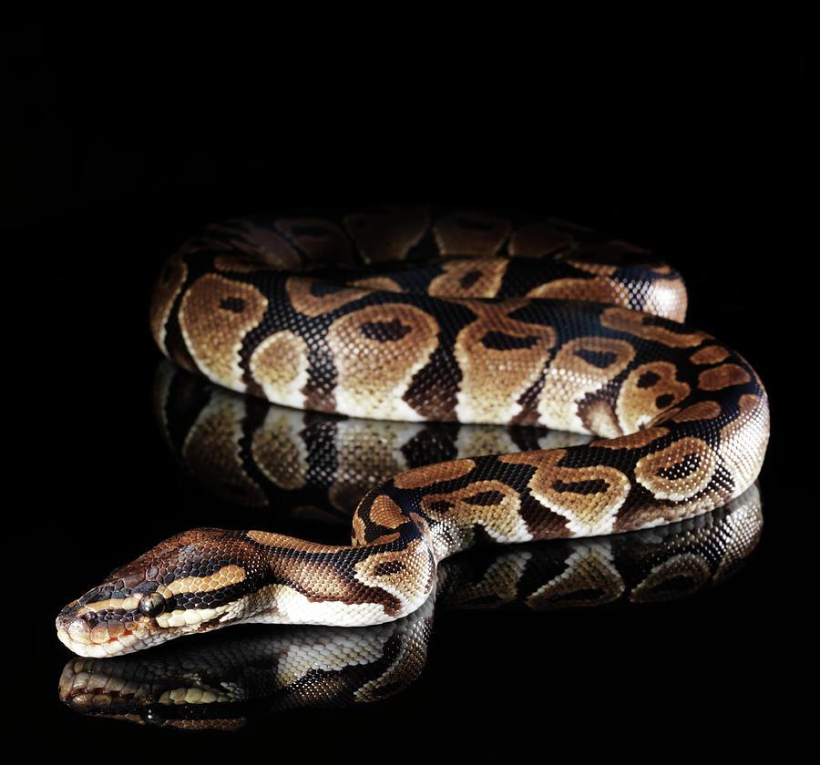 Burmese Python Photograph by Henrik Sorensen