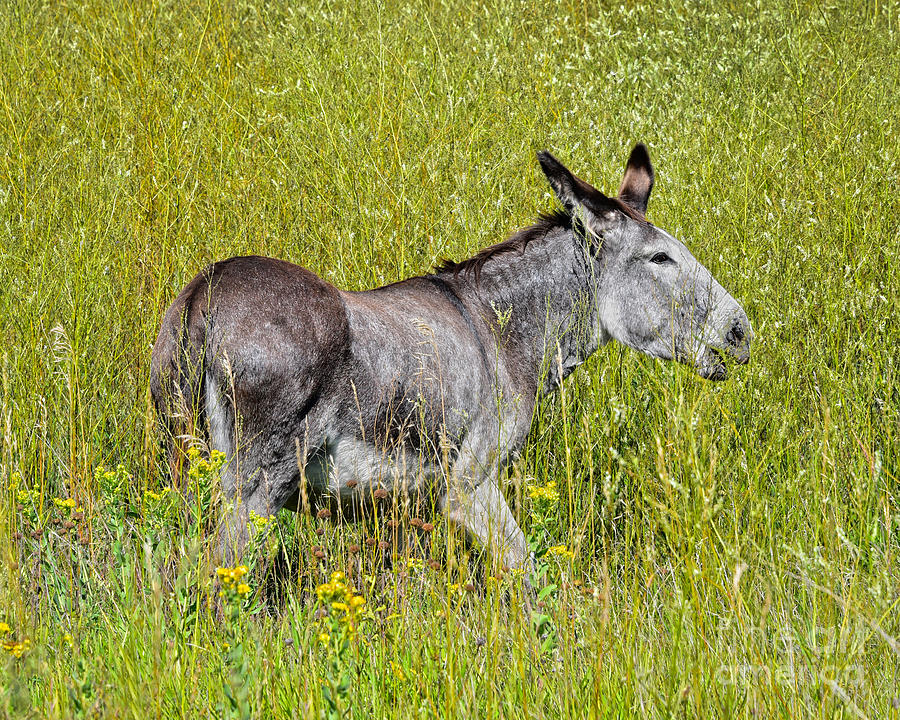 Burro in Custer State Park by Catherine Sherman