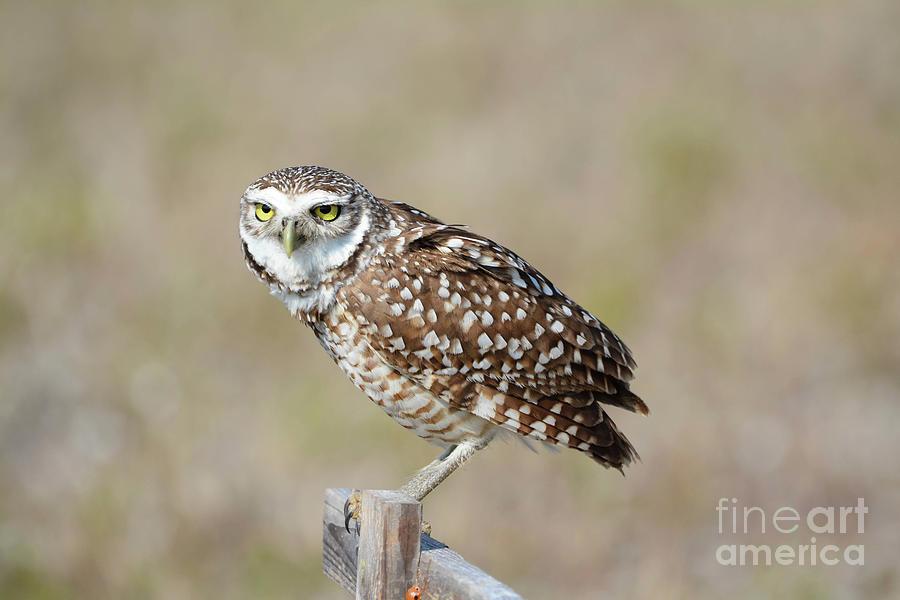 Owl Photograph - Burrowing Owl 3 by Lisa Kilby