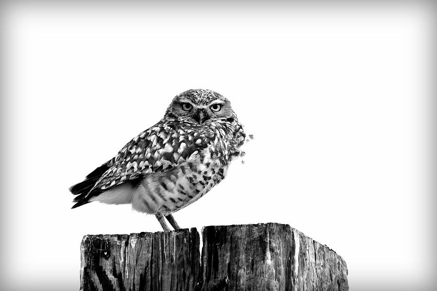 Burrowing Owl Black and White by Michael Morse