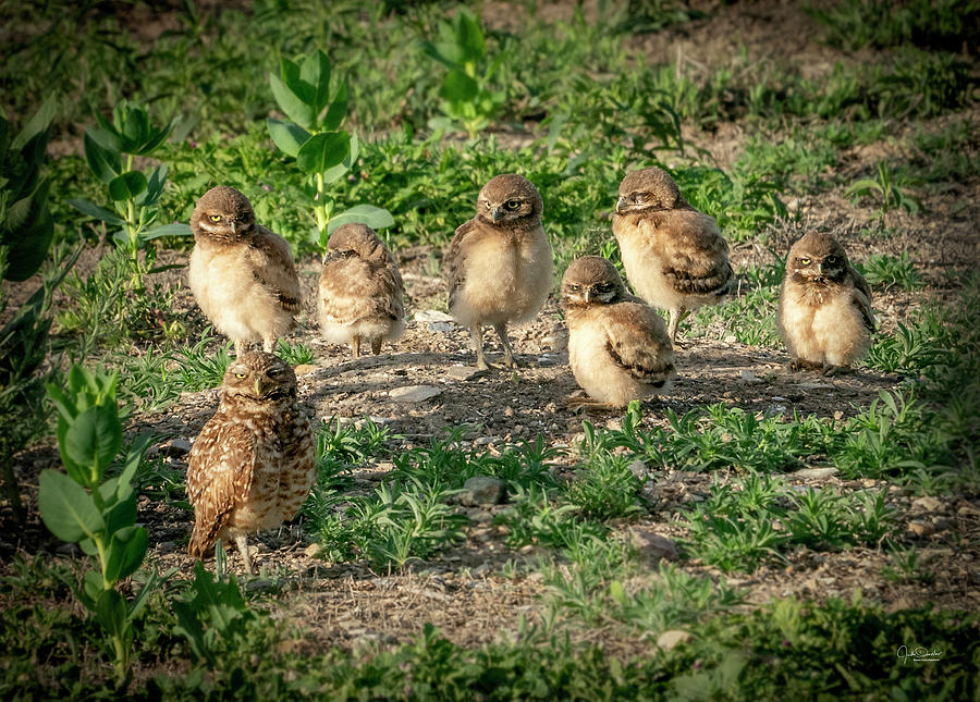 Burrowing Owl Family by Judi Dressler
