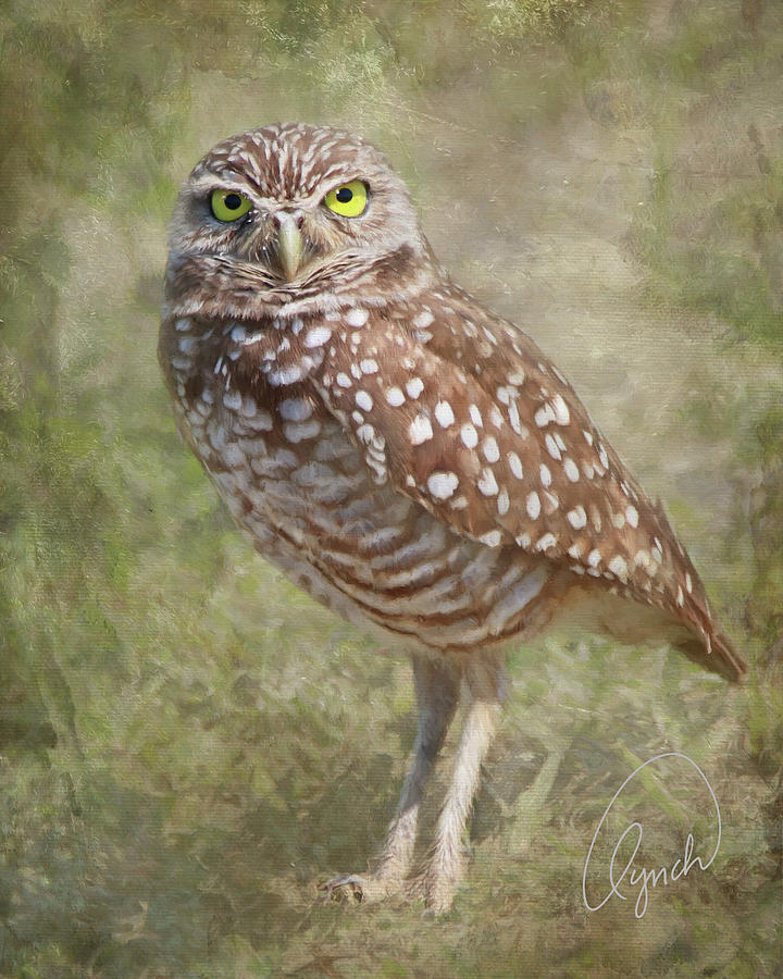 Burrowing Owl by Karen Lynch