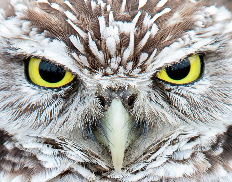 Burrowing Owl Photograph by Michael Leggero