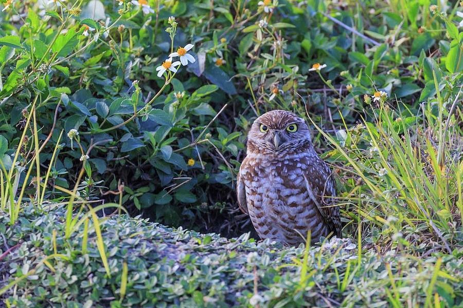 Burrowing Owl by Paul Schultz
