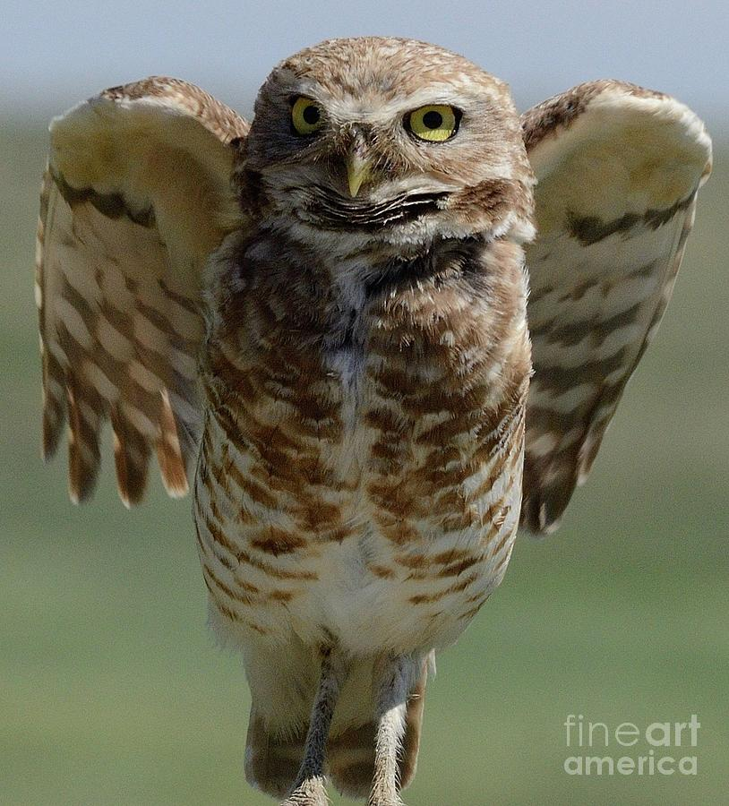 Burrowing Owl by Robert Buderman
