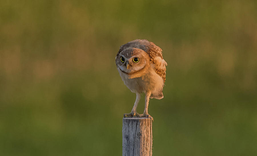Burrowing Owlet At Dusk by Yeates Photography