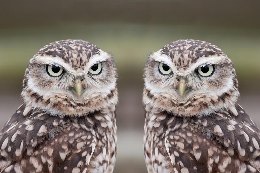 Burrowing Owls Photograph by Tony Emmett