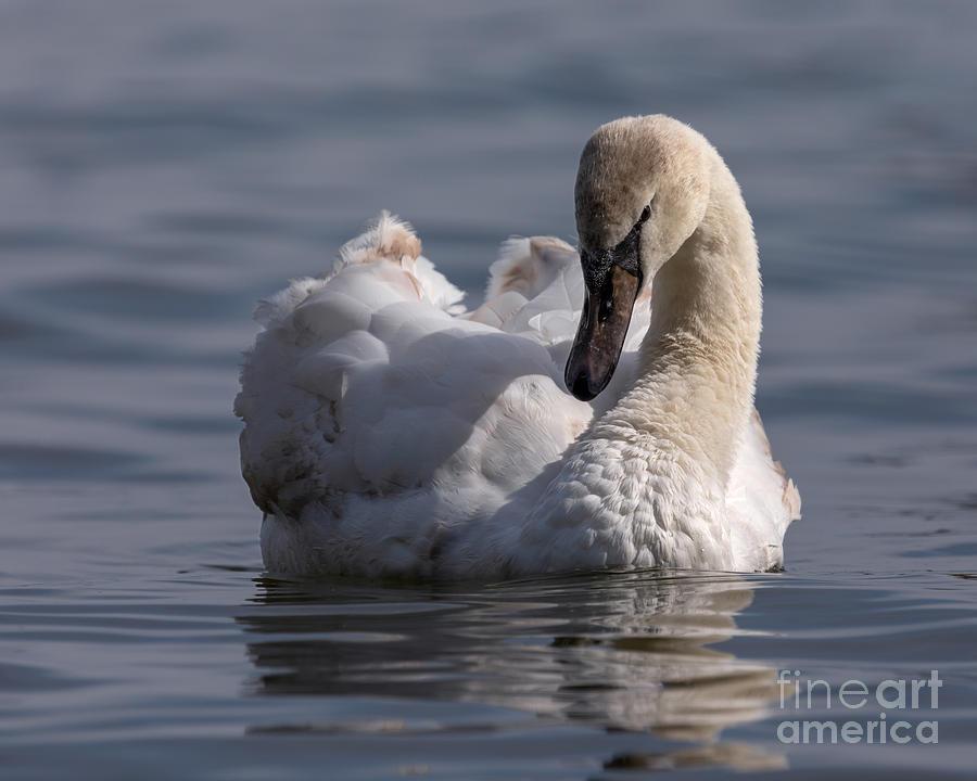 Bird Photography Photograph - Busking Cygnet by Alma Danison