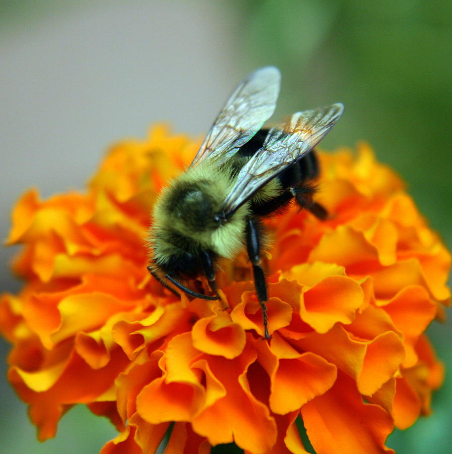 Busy as a Bee by Laurel Talabere