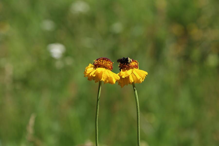 Bee Photograph - Busy Bee by Alina Avanesian
