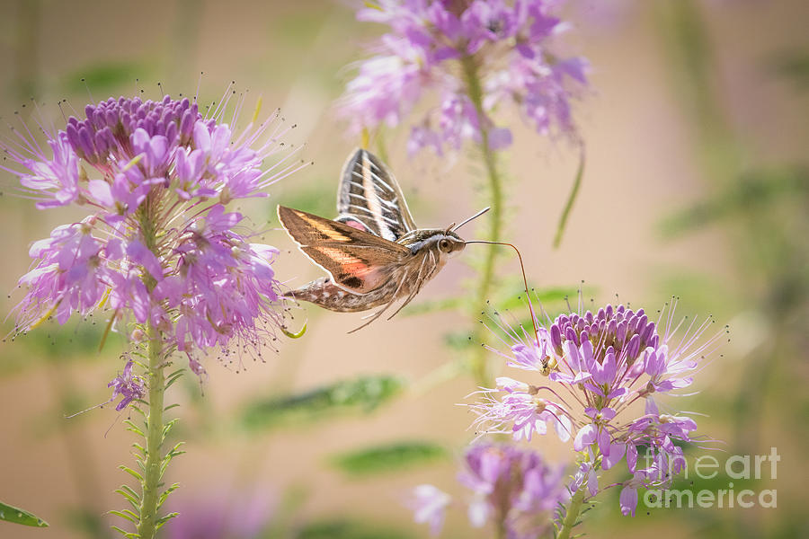 Busy Hummingbird Moth by Lisa Manifold