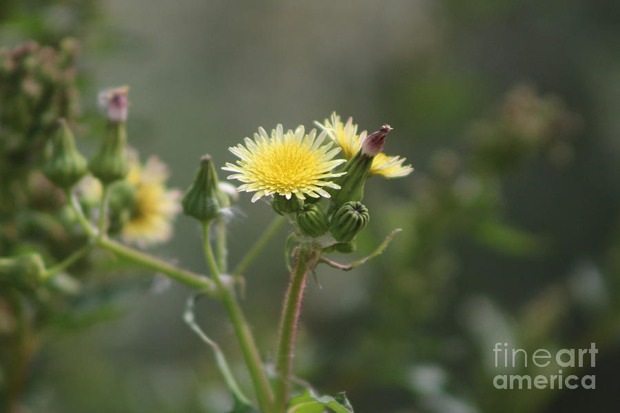 Butter Yellow Milk Thistle at Sultan Sea by Colleen Cornelius