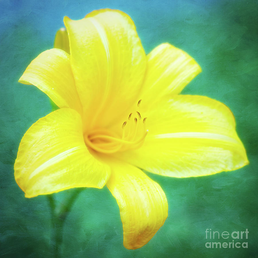 Buttered Popcorn Daylily In Her Glory by Anita Pollak