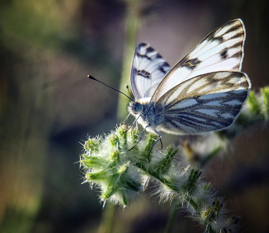Checkered White Butterfly 7932-042419 by Tam Ryan