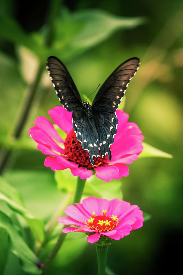 Butterfly and Flowers by Allin Sorenson