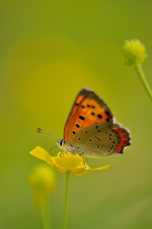 Butterfly And Japanese Buttercup Photograph by Myu-myu