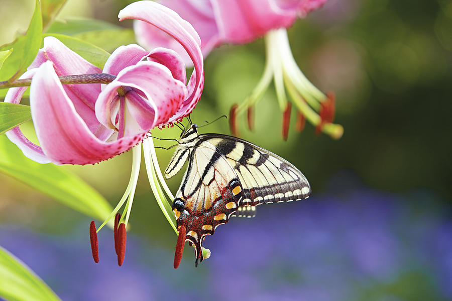 Butterfly and Lily by Garden Gate magazine