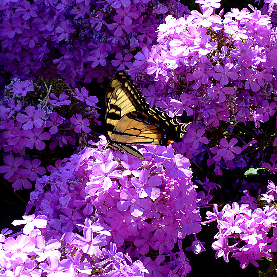 Butterfly and Phlox Squared by Michael McBrayer