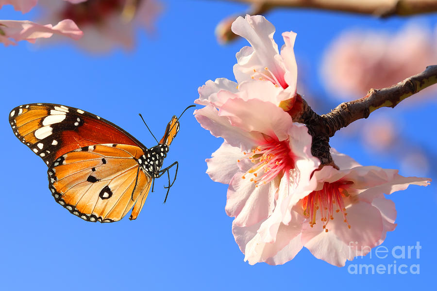 Collage Photograph - Butterfly And Pink Almond Tree Blossom by Protasov An