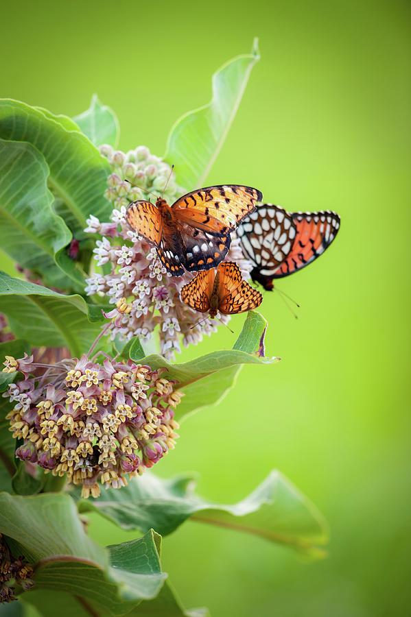 Butterfly Buffet II by Jeff Phillippi