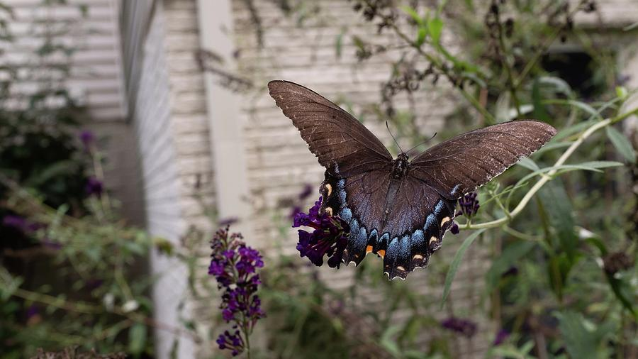 Butterfly by Charles Kraus
