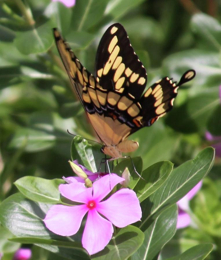 Butterfly Drinking Nectar by Philip Bracco