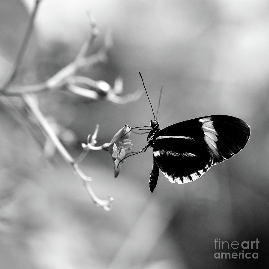 Flower and butterfly enjoying each others company in black and white by willie branch