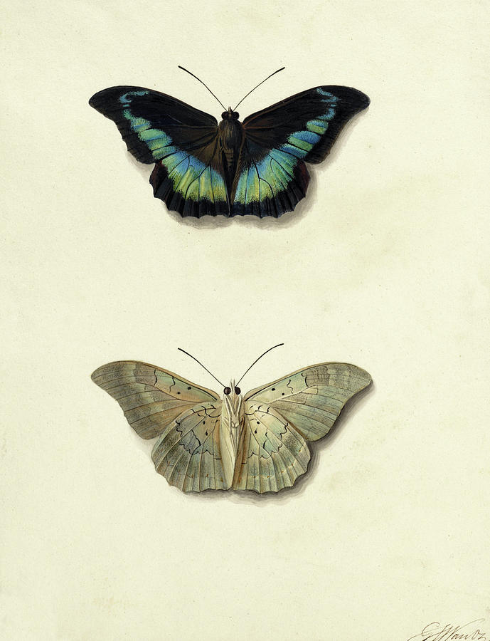Os Painting - Butterfly by Georgius Jacobus Johannes van Os