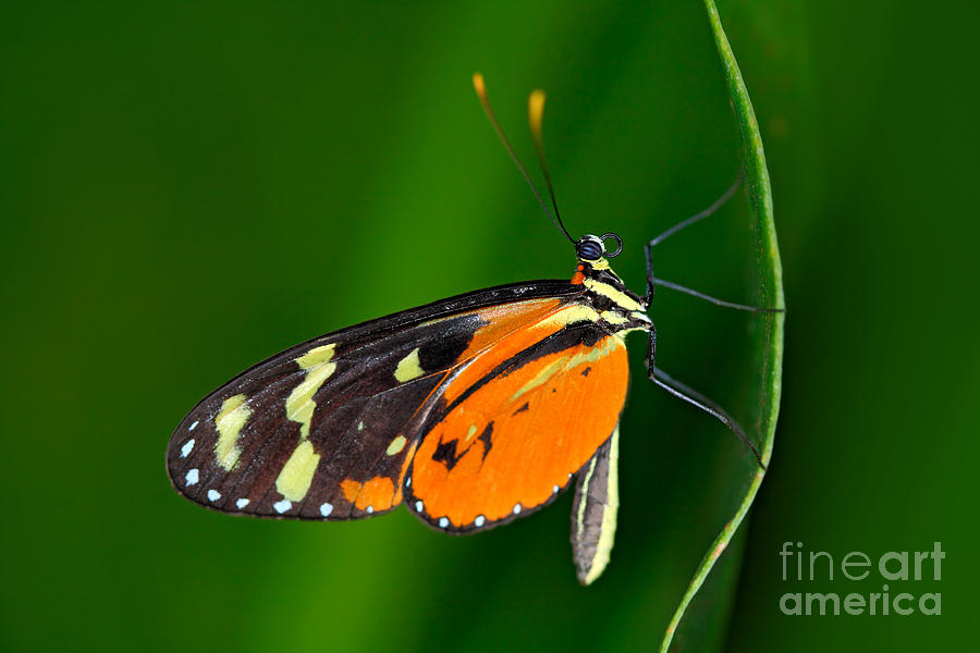 Beauty Photograph - Butterfly Heliconius Hacale Zuleikas by Ondrej Prosicky
