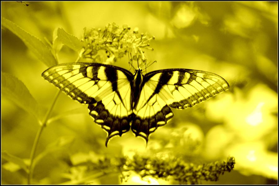 Butterfly In Golden Sunshine by Marla McPherson