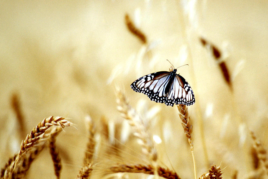 Butterfly In The Fields - Quinoa - Peru Photograph by By Lionel Arnould