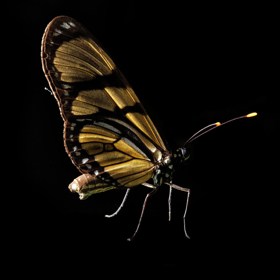 Butterfly Isolated On Black, Ubajara Photograph by Tunart