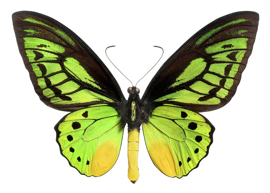Butterfly Lepidoptera With Green, Black Photograph by Flamingpumpkin