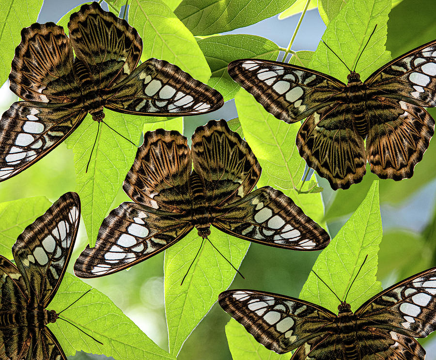 Butterfly Montage by Dean Ginther