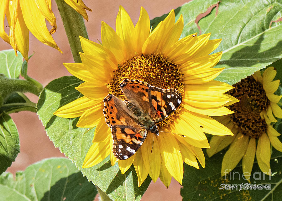 Butterfly on a Sunflower by Steven Natanson