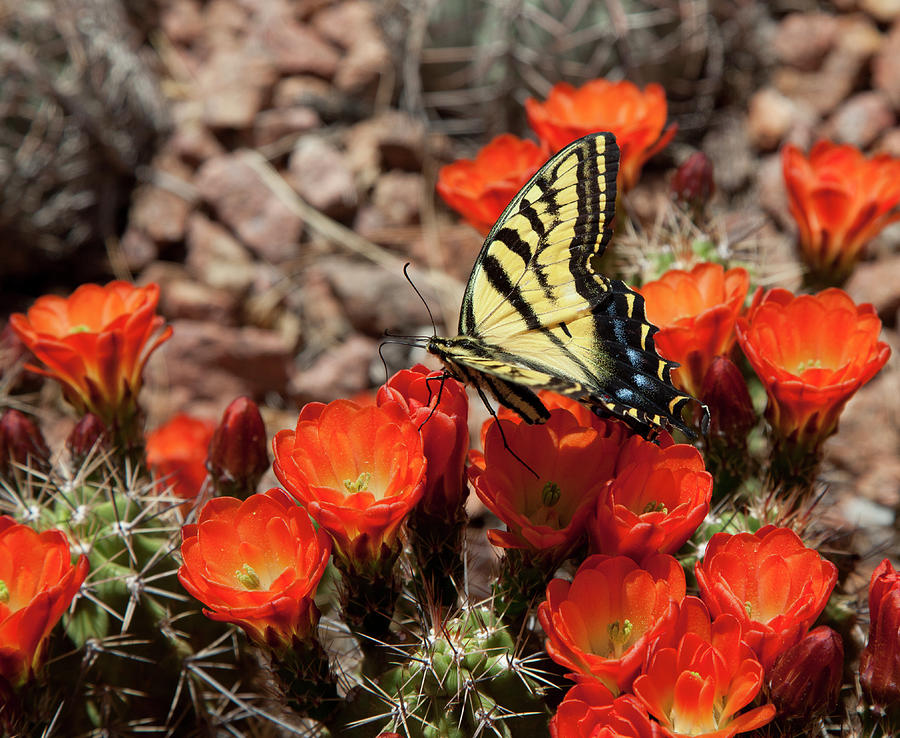 Butterfly On Cactus Flower Photograph by Vallariee
