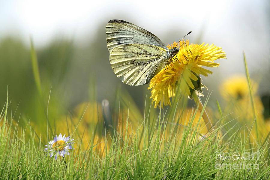 Butterfly on Dandelion by Morag Bates