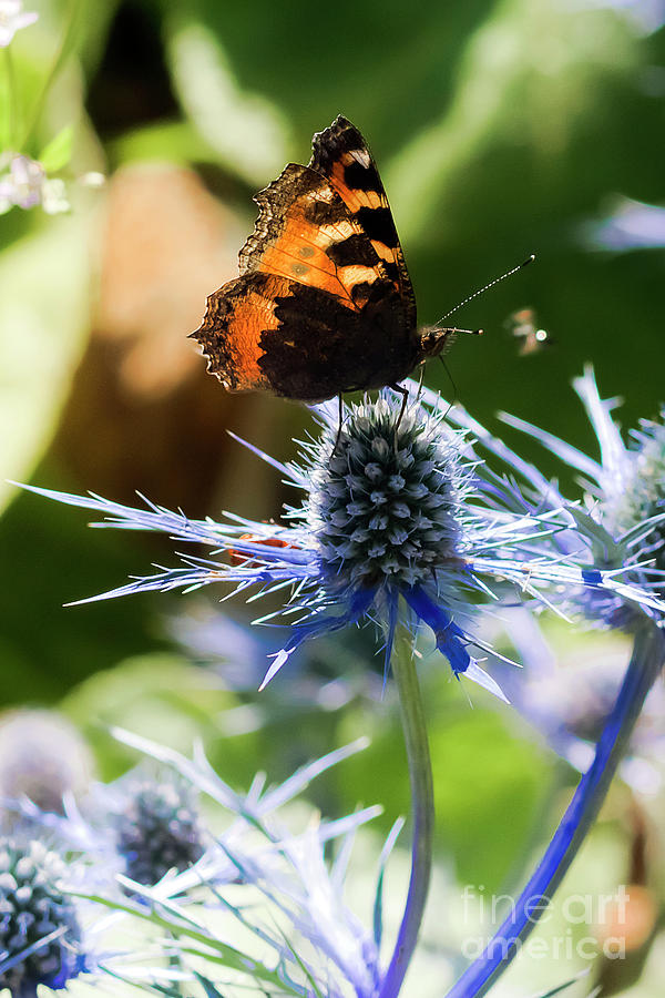 Butterfly On Eryngiums Photograph